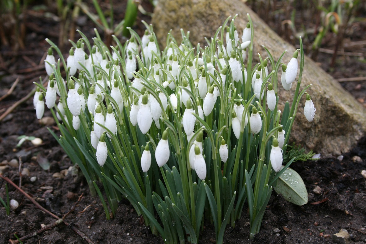 Galanthus for
