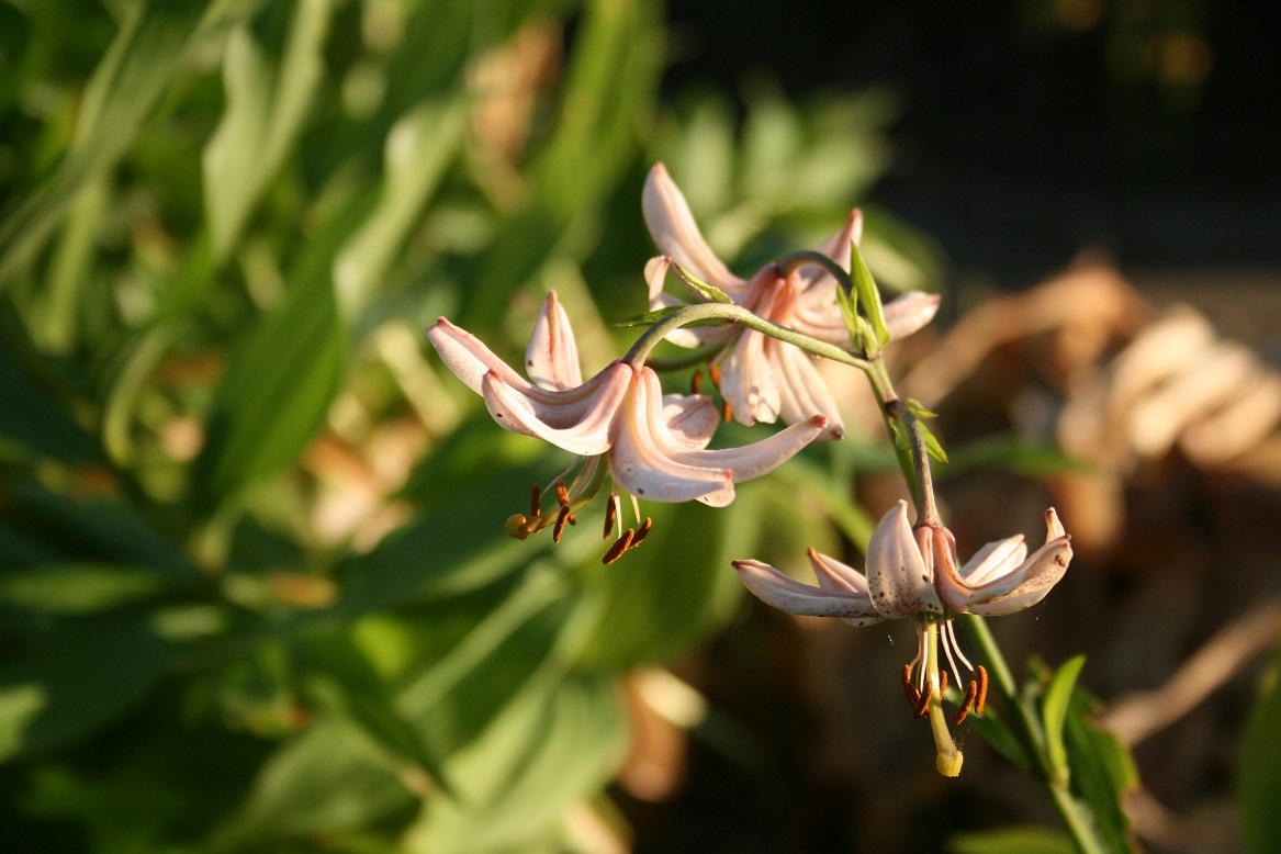 lilium martagon Pink Morning 26 06 2020web