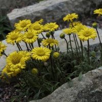 K10-Erigeron chrysopsides Grand Ridge_1