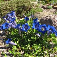 12. Gentianaceae