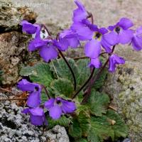 13. Gesneriaceae