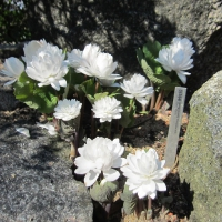 15. Papaveraceae