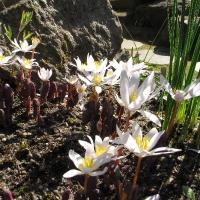 K15 - Sanguinaria canadensis 'Amy*_1