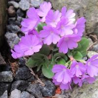 K16 Primula Hirsuta ssp valcuvianensis