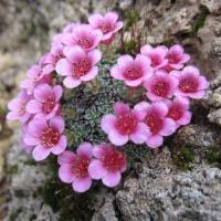 21. Saxifragaceae