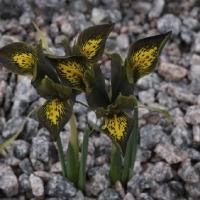 26. Iris