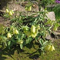 K27 - Fritillaria pallidiflora_1