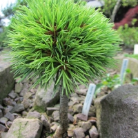 K32 Pinus Flexillis suzi soft 003