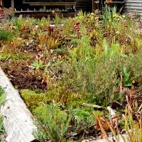 3. Gruppe af alpine planter med fokus på farver eller løv
