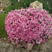 4. Alpin plante i blomst