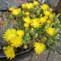 7. Brassicaceae