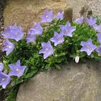 8. Campanulaceae