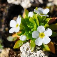 8. Primula, Cyclamen. Helleborus og Pulsatilla