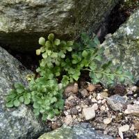 15. Stenbedsplante som dyrkes for bladeffekt og hårdføre bregner