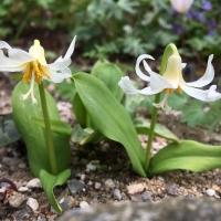 K10 - Erythronium sibiricum 'White Fang'_1