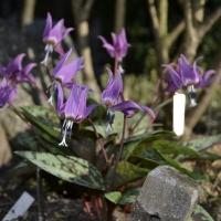 K10-Erythronium dens-canis Purple King 20180420_1