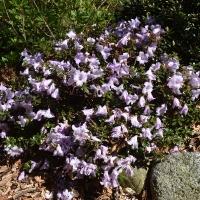 K13-Rhododendron pemakoense_1