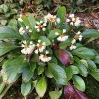 K13 - Berneuxia thibetica_1