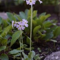 K08-Primula zambalensis_1