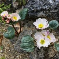 K09 - Ranunculus parnassifolius Nuria Form_1