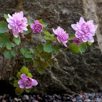 K09-Anemonella thalictroides 'Shoaf's Double Pink'_1